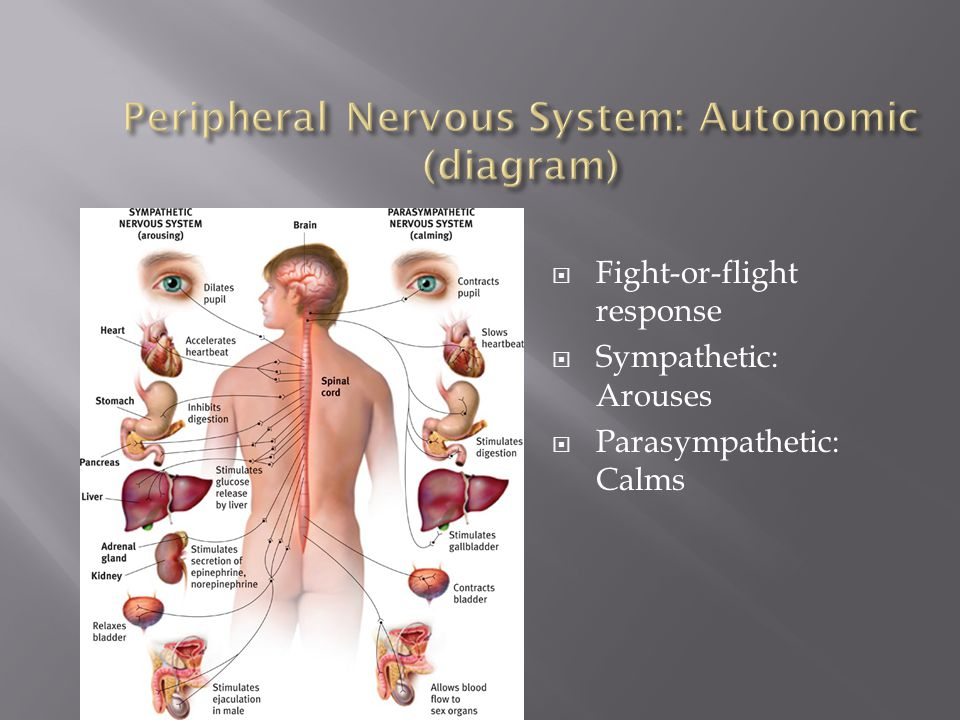 Peripheral Nervous System: Autonomic (diagram)
