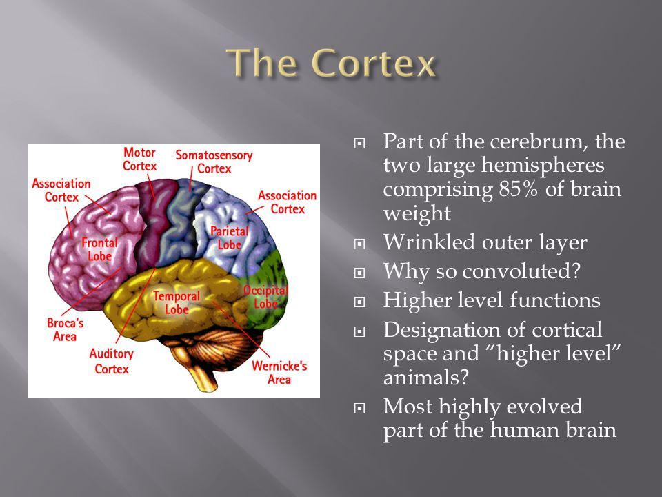 The Cortex Part of the cerebrum, the two large hemispheres comprising 85% of brain weight. Wrinkled outer layer.