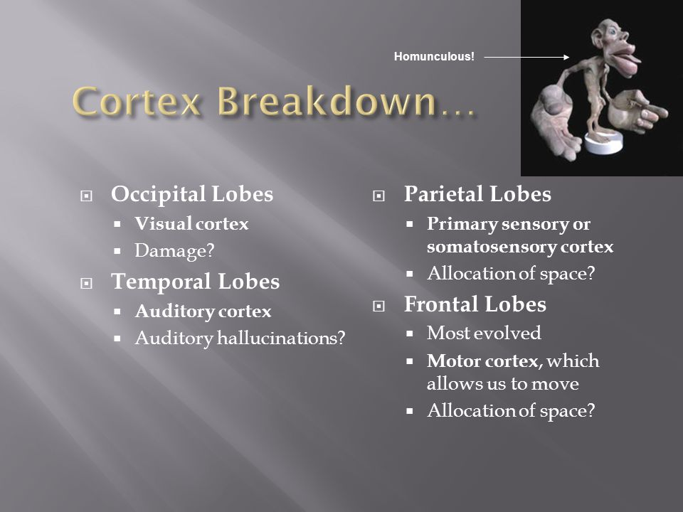 Cortex Breakdown… Occipital Lobes Temporal Lobes Parietal Lobes