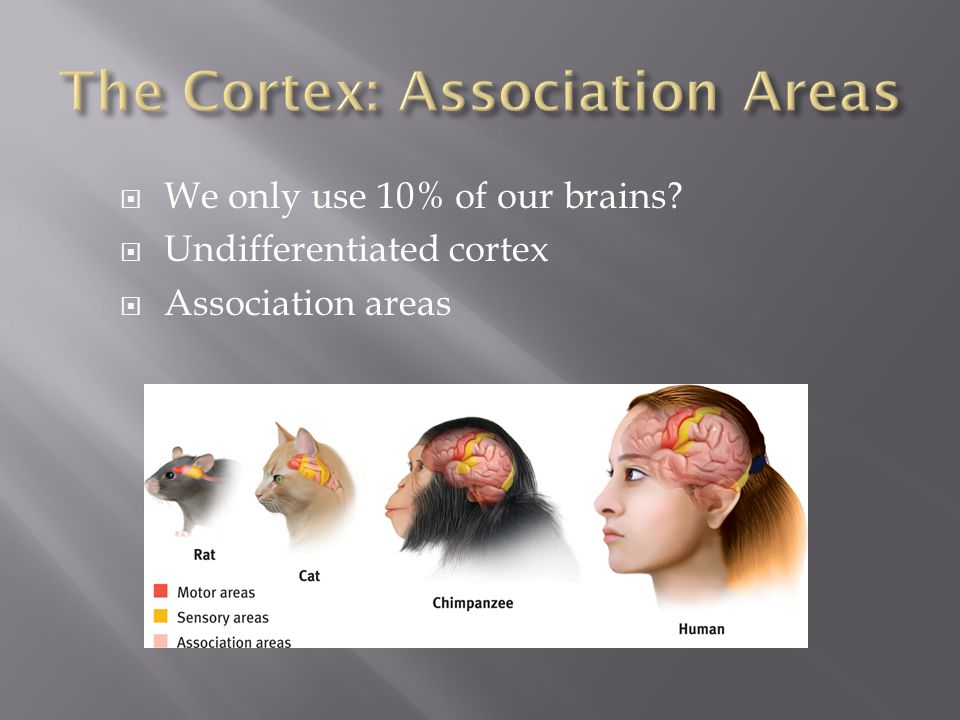 The Cortex: Association Areas