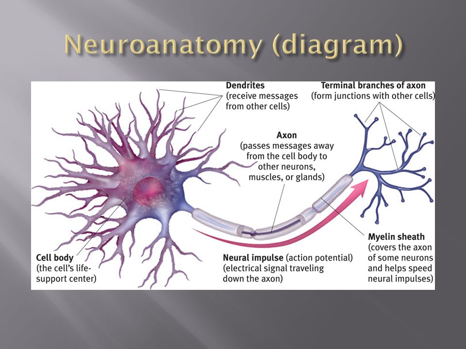 Neuroanatomy (diagram)