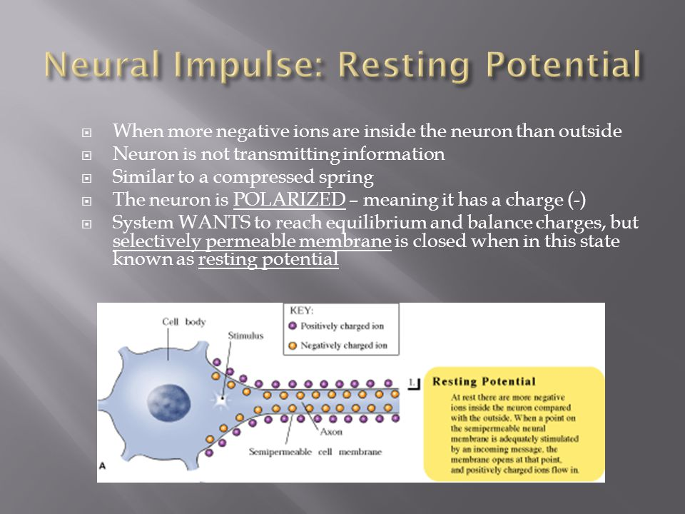 Neural Impulse: Resting Potential