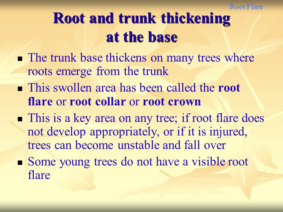 Root and trunk thickening at the base
