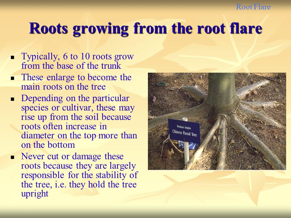 Roots growing from the root flare