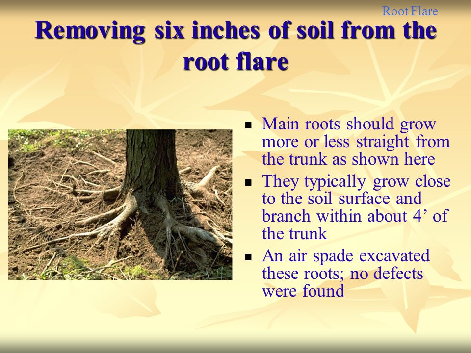 Removing six inches of soil from the root flare