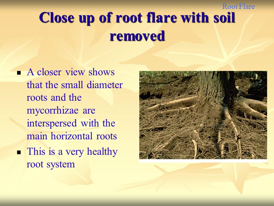 Close up of root flare with soil removed