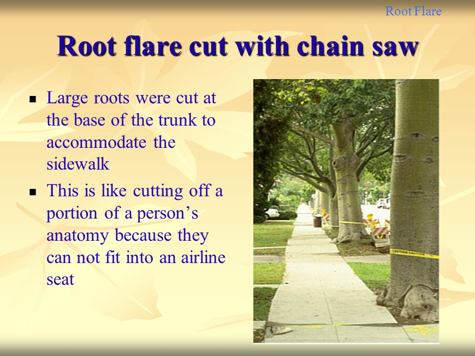 Root flare cut with chain saw