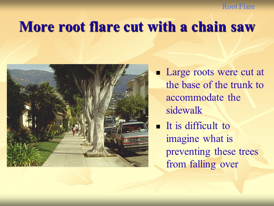 More root flare cut with a chain saw