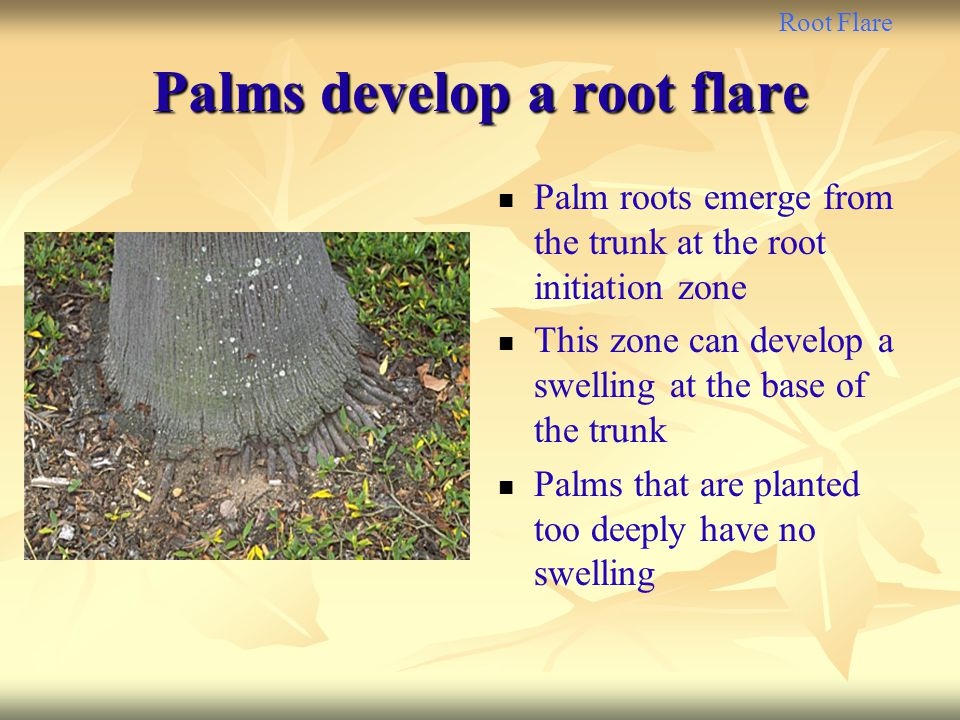 Palms develop a root flare