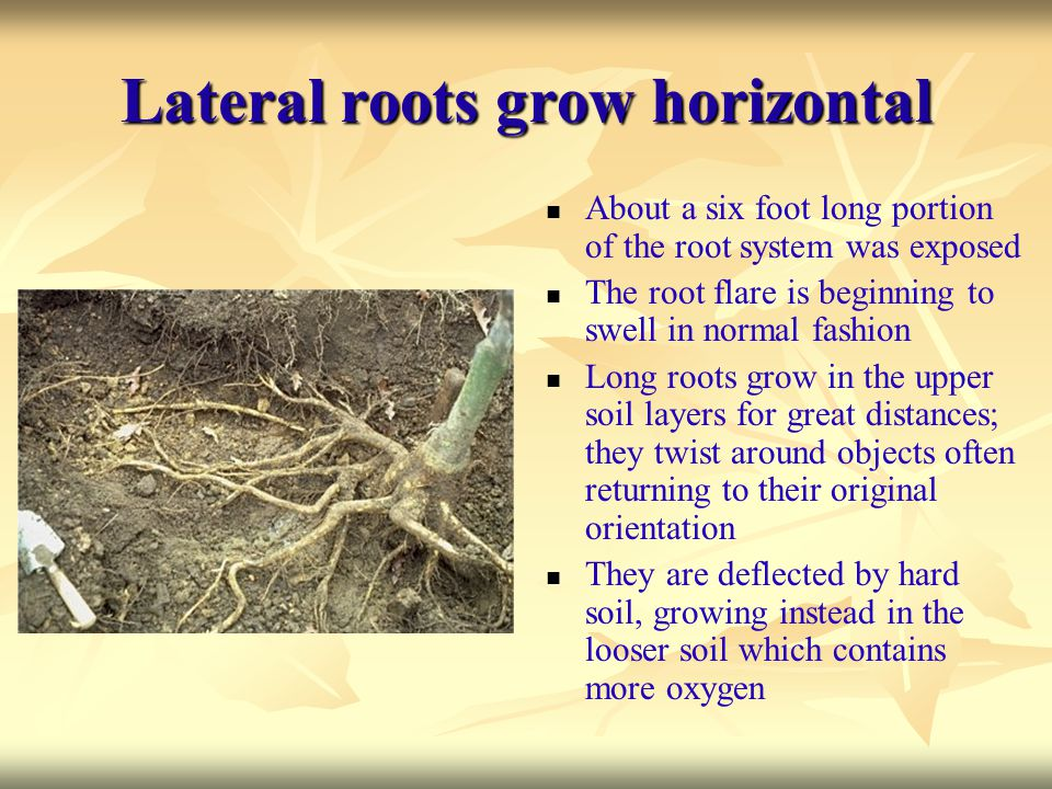 Lateral roots grow horizontal