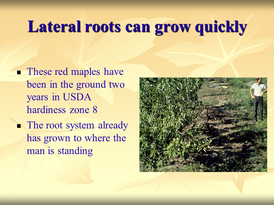 Lateral roots can grow quickly