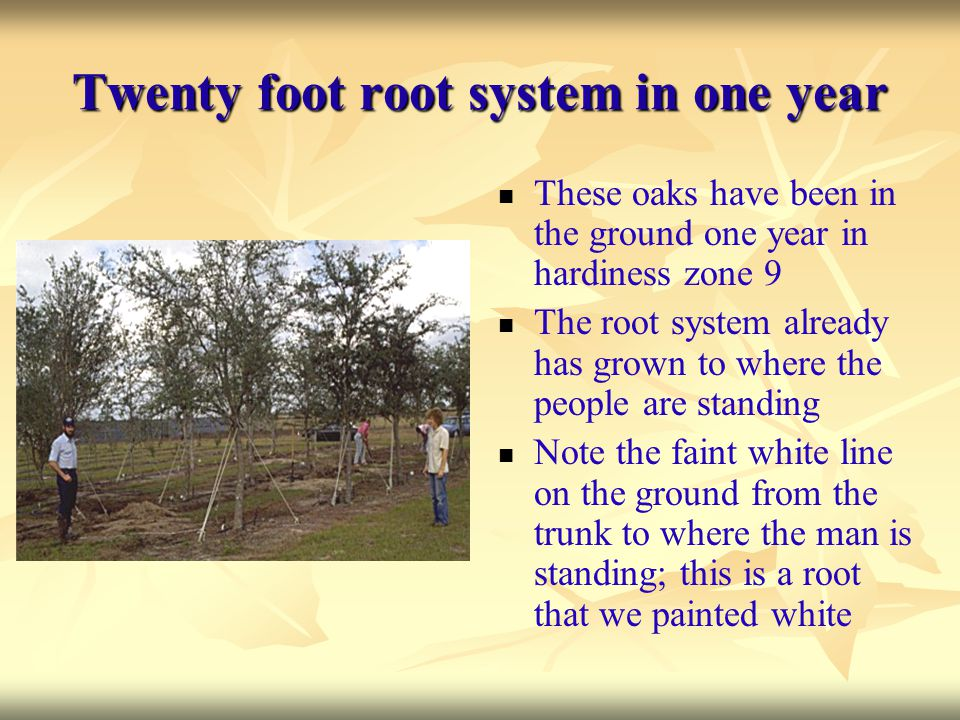 Twenty foot root system in one year
