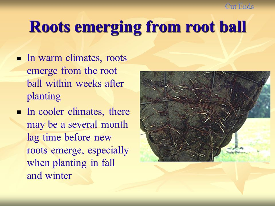 Roots emerging from root ball