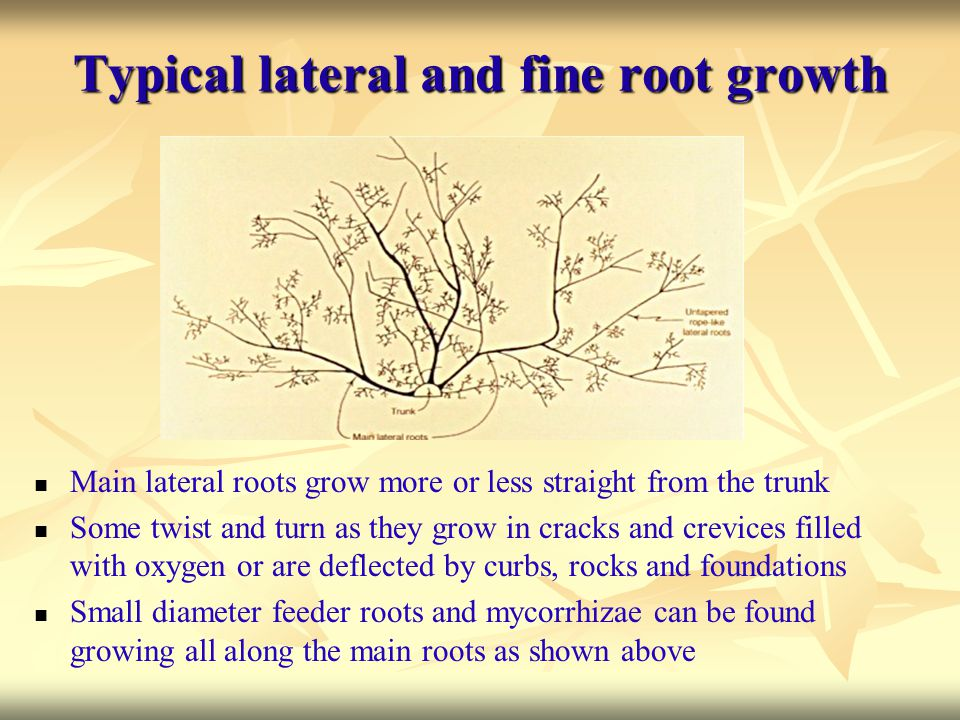 Typical lateral and fine root growth