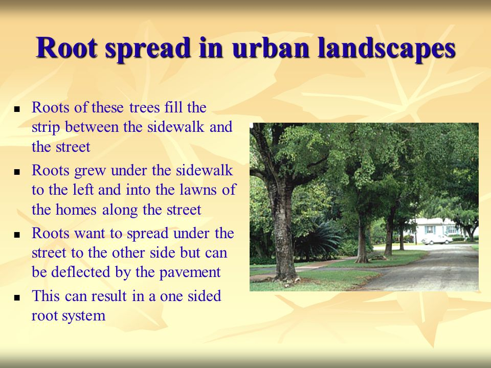 Root spread in urban landscapes