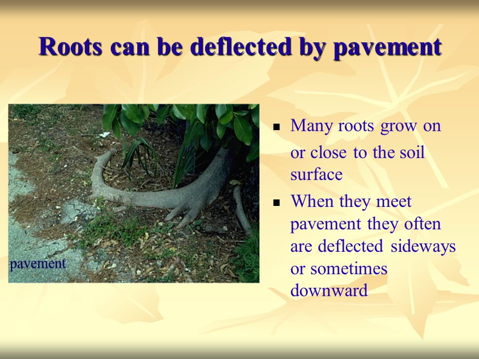 Roots can be deflected by pavement