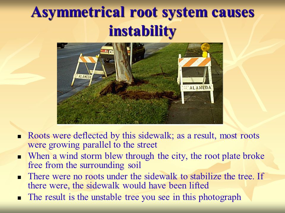 Asymmetrical root system causes instability
