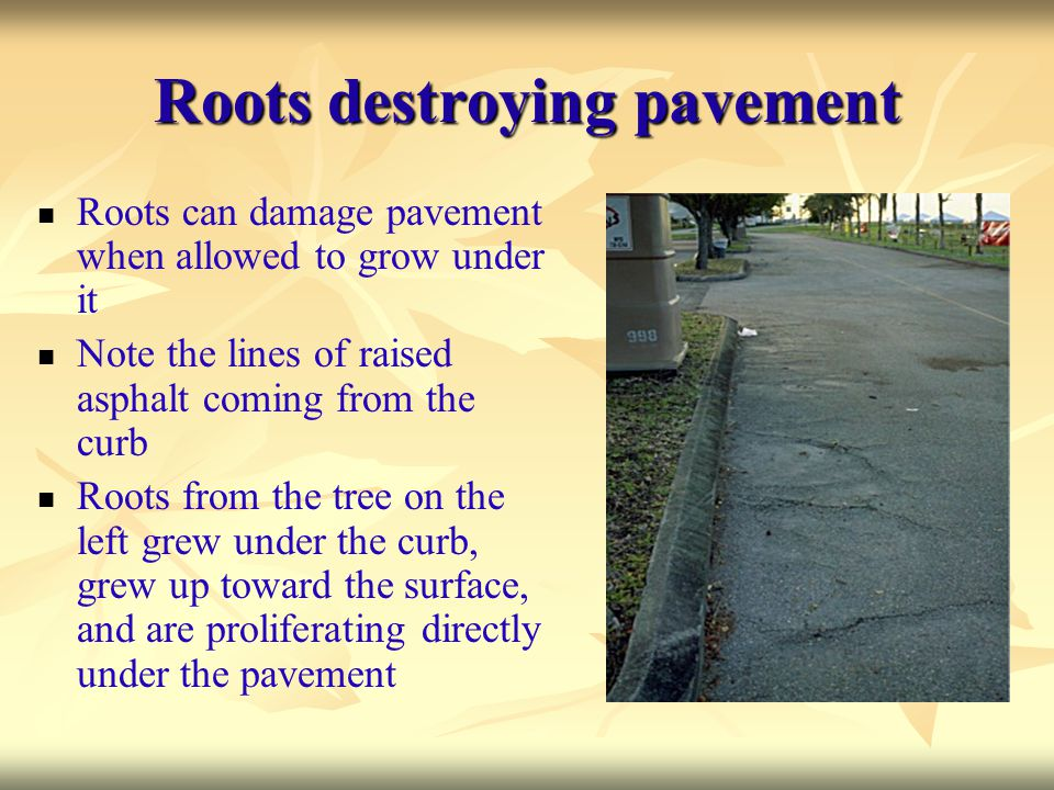 Roots destroying pavement