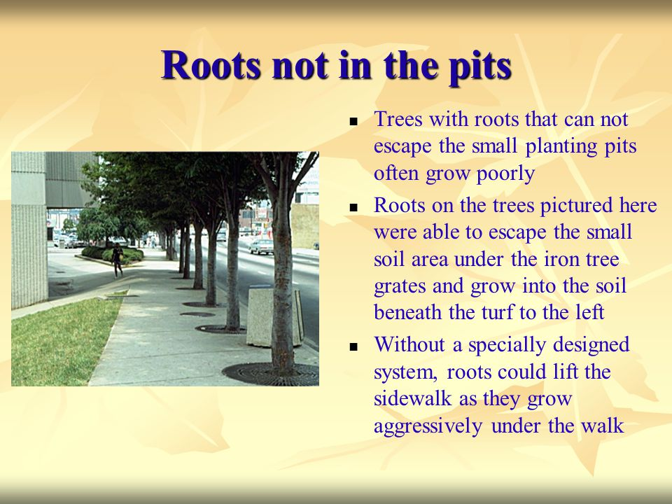 Roots not in the pits Trees with roots that can not escape the small planting pits often grow poorly.