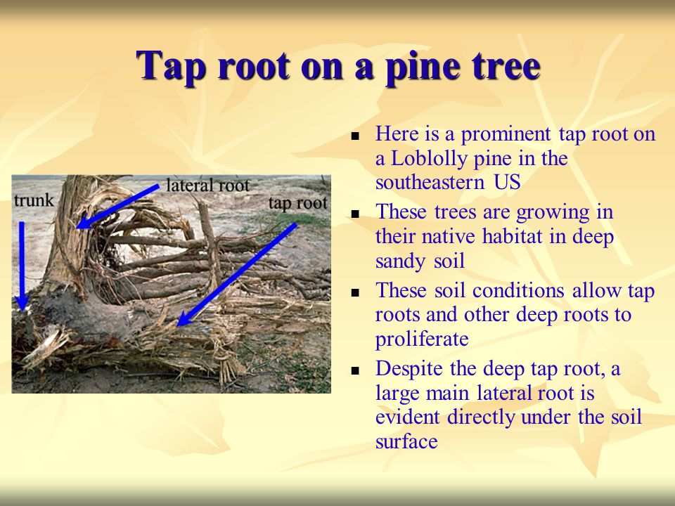 Tap root on a pine tree Here is a prominent tap root on a Loblolly pine in the southeastern US.