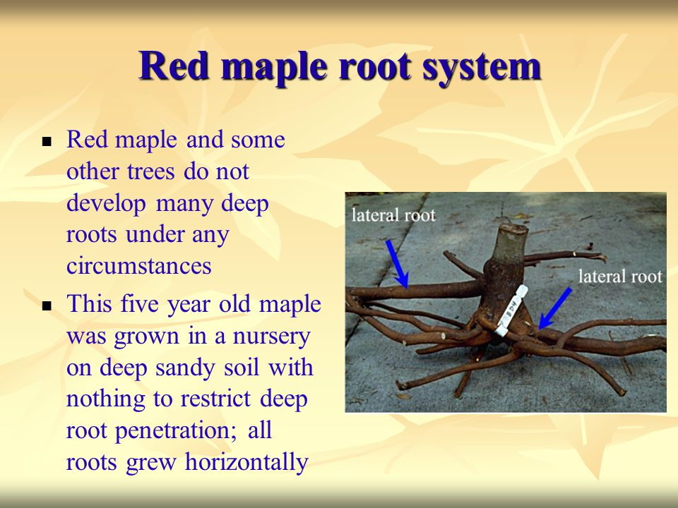 Red maple root system Red maple and some other trees do not develop many deep roots under any circumstances.