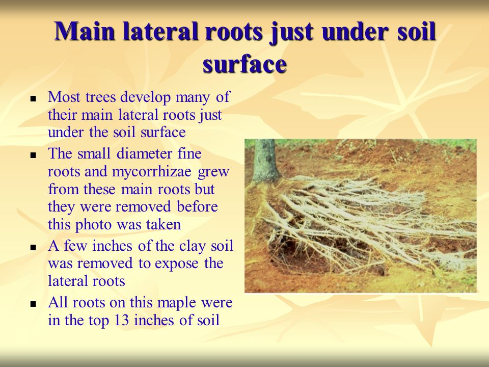 Main lateral roots just under soil surface