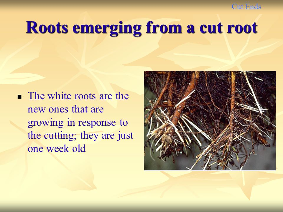 Roots emerging from a cut root