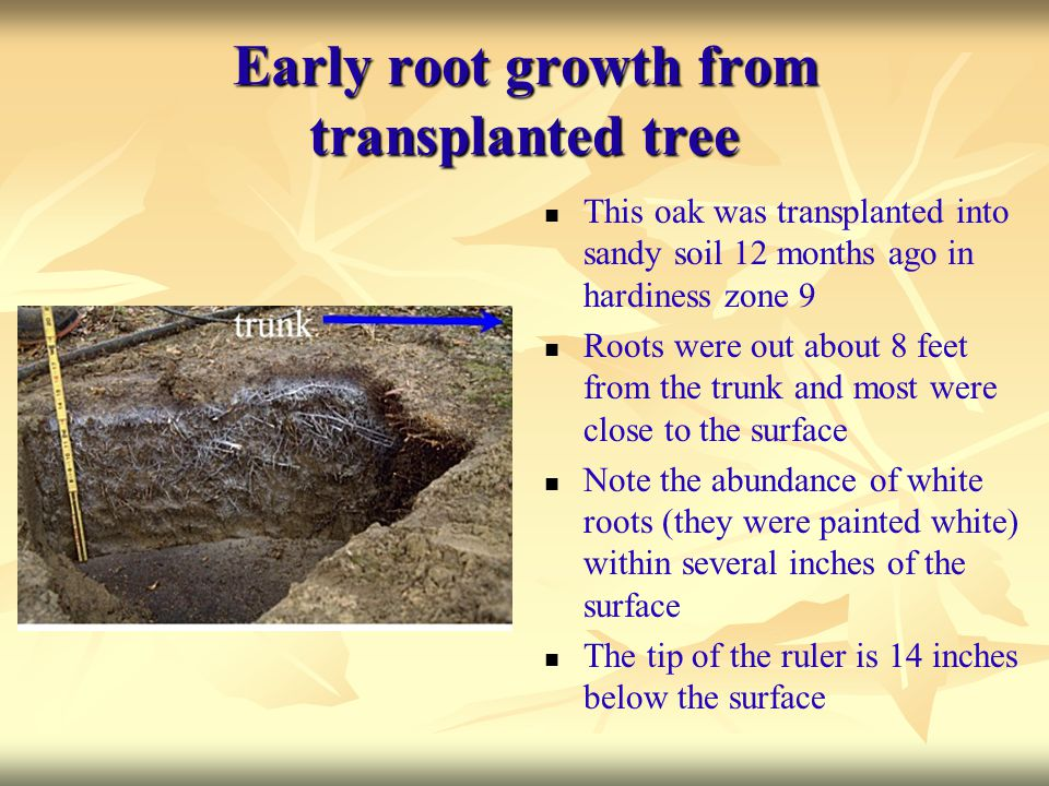 Early root growth from transplanted tree