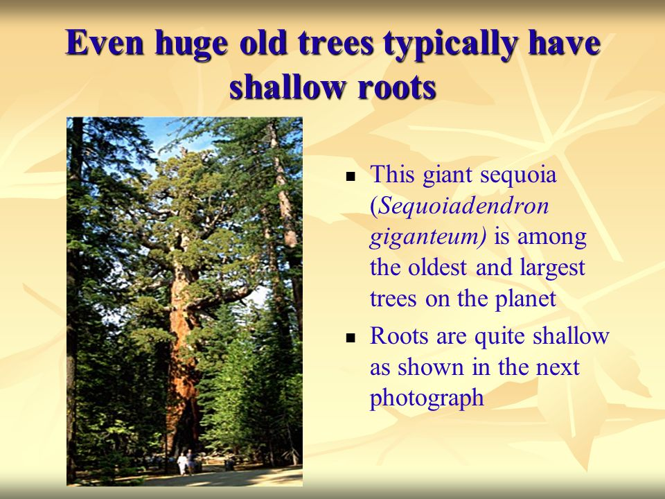 Even huge old trees typically have shallow roots