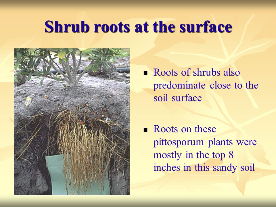 Shrub roots at the surface