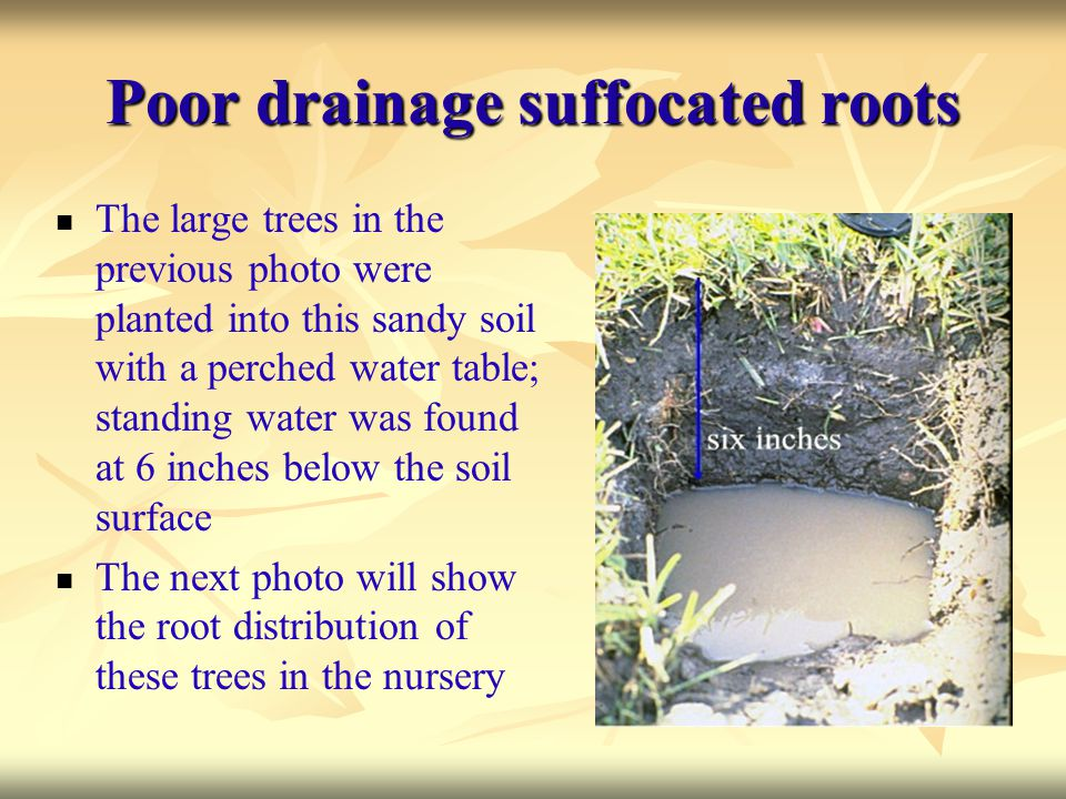 Poor drainage suffocated roots