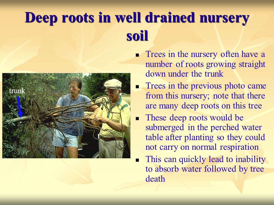 Deep roots in well drained nursery soil