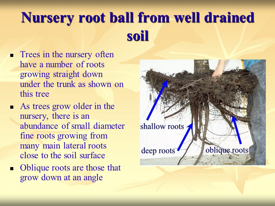Nursery root ball from well drained soil