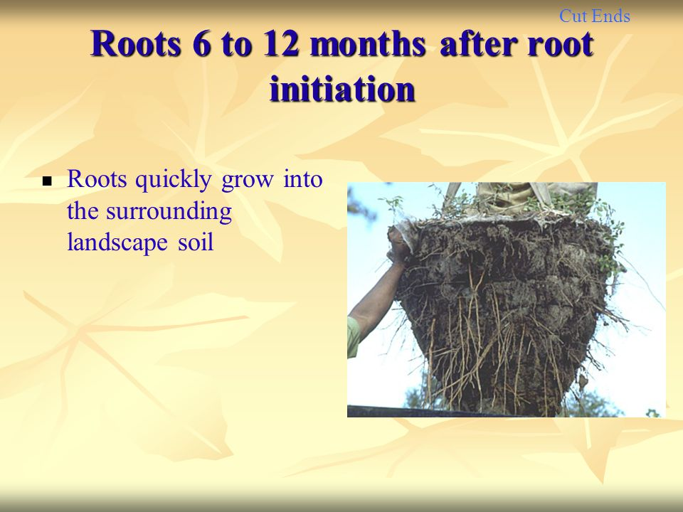 Roots 6 to 12 months after root initiation