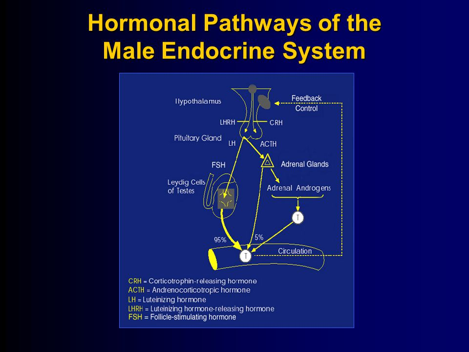 Hormonal Pathways of the Male Endocrine System