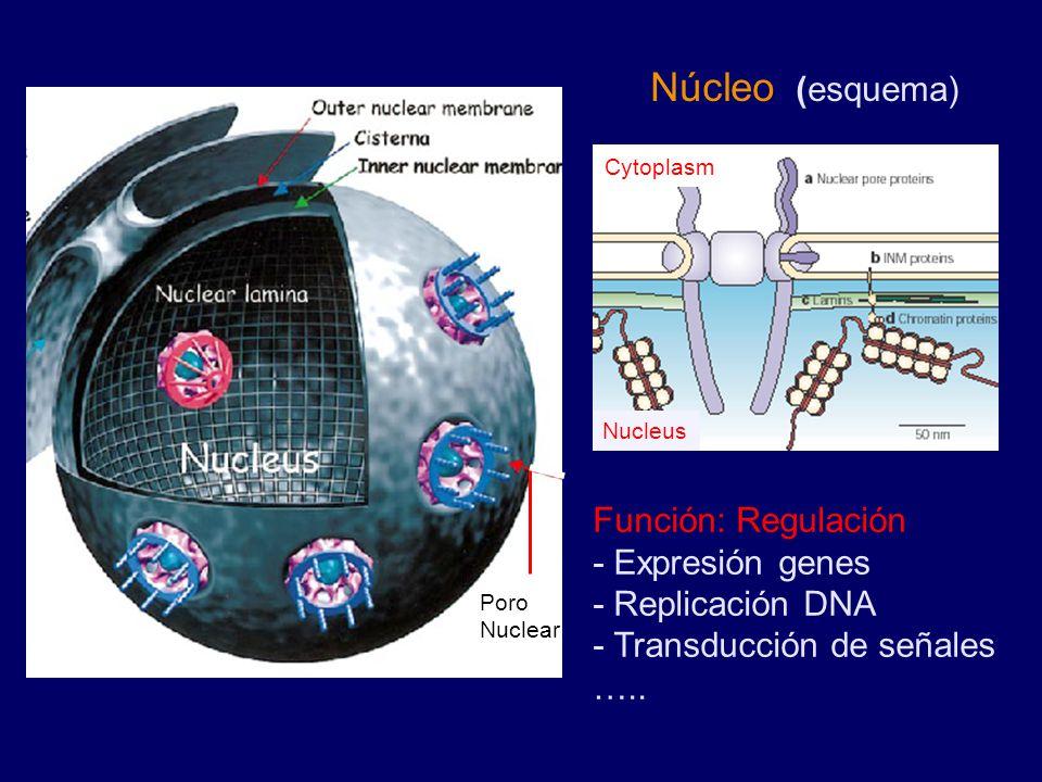 Núcleo (esquema) Función: Regulación - Expresión genes