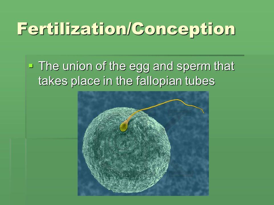 Fertilization/Conception