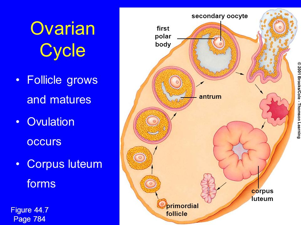Ovarian Cycle Follicle grows and matures Ovulation occurs