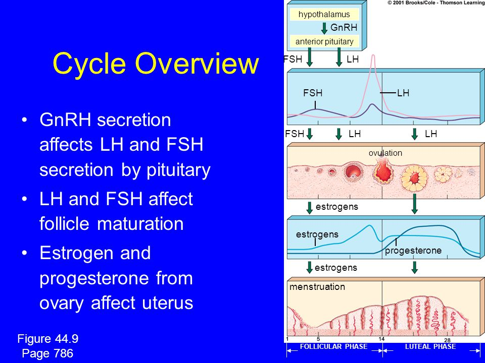 hypothalamus GnRH. Cycle Overview. anterior pituitary. FSH. LH. FSH. LH. GnRH secretion affects LH and FSH secretion by pituitary.
