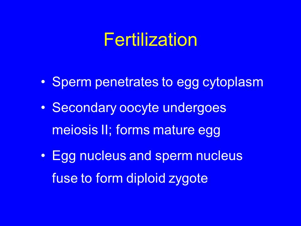 Fertilization Sperm penetrates to egg cytoplasm