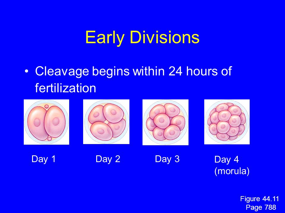 Early Divisions Cleavage begins within 24 hours of fertilization Day 1