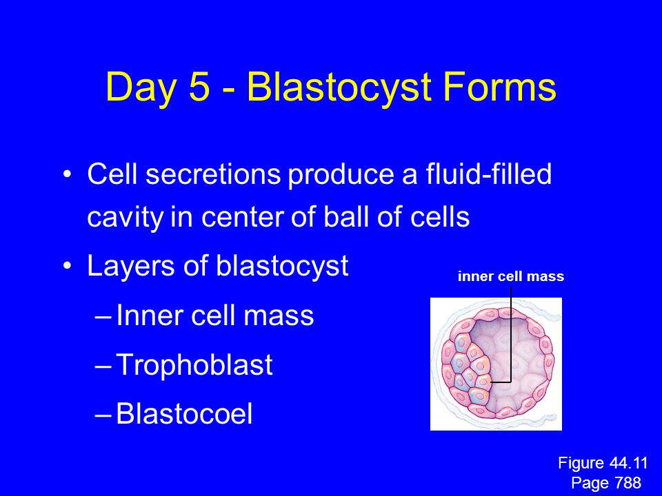 Day 5 - Blastocyst Forms Cell secretions produce a fluid-filled cavity in center of ball of cells. Layers of blastocyst.