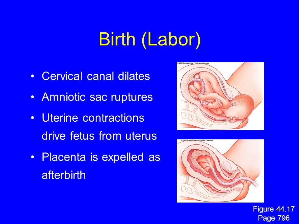 Birth (Labor) Cervical canal dilates Amniotic sac ruptures