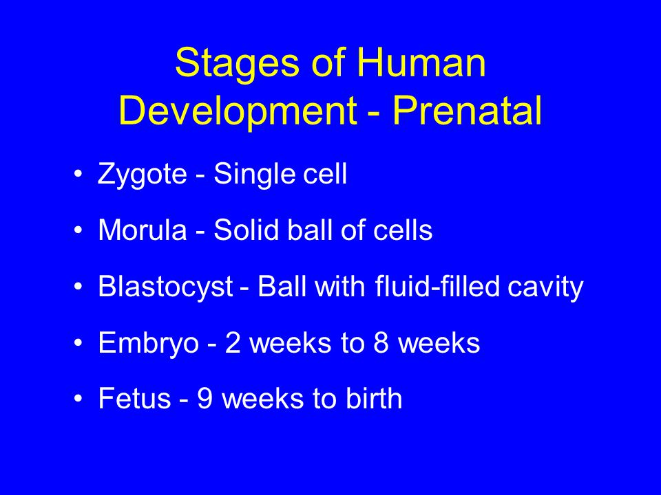 Stages of Human Development - Prenatal