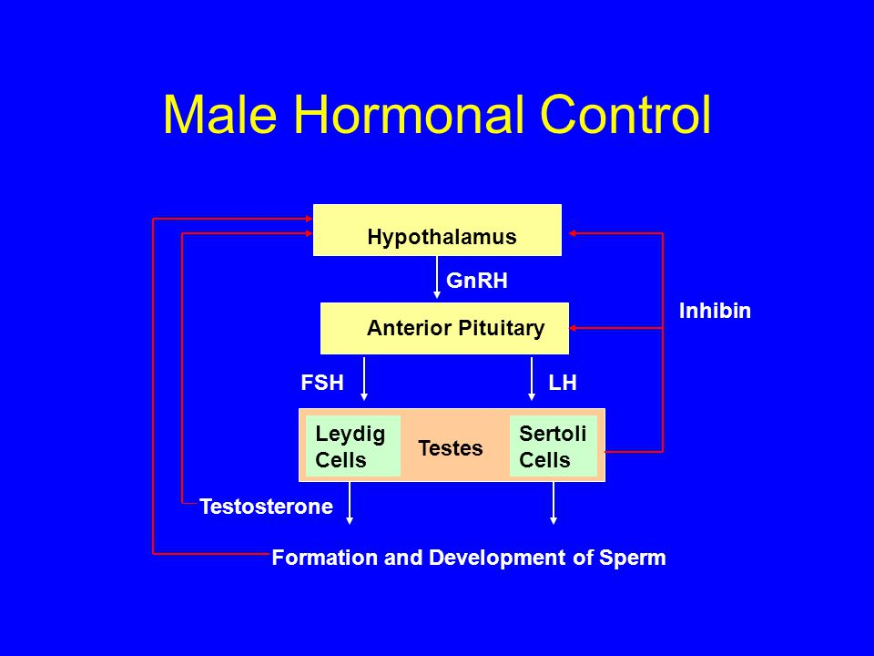 Male Hormonal Control Hypothalamus GnRH Inhibin Anterior Pituitary FSH