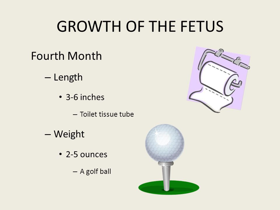 GROWTH OF THE FETUS Fourth Month Length Weight 3-6 inches 2-5 ounces