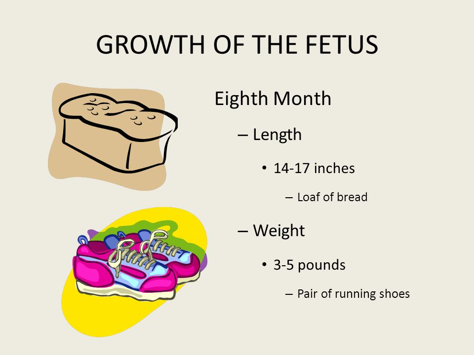 GROWTH OF THE FETUS Eighth Month Length Weight 14-17 inches 3-5 pounds