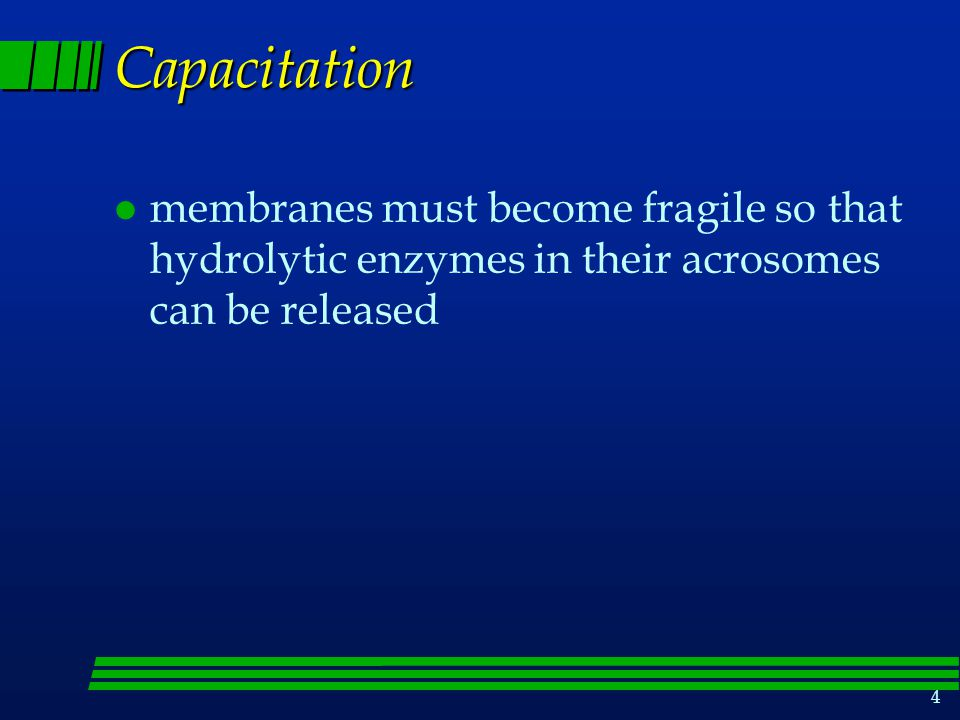 Capacitation membranes must become fragile so that hydrolytic enzymes in their acrosomes can be released.
