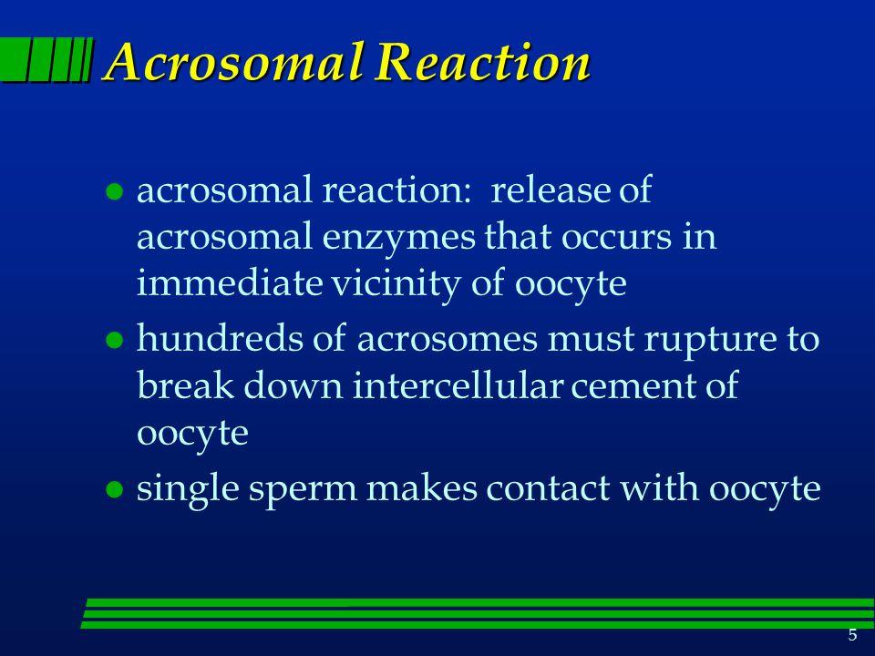 Acrosomal Reaction acrosomal reaction: release of acrosomal enzymes that occurs in immediate vicinity of oocyte.