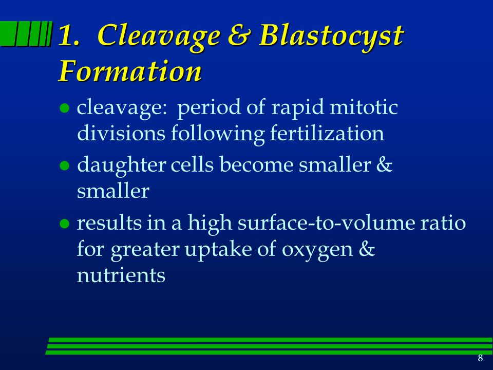 1. Cleavage & Blastocyst Formation